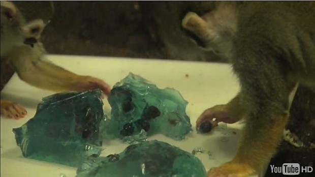 JELL-O Enrichment for Squirrel Monkeys
