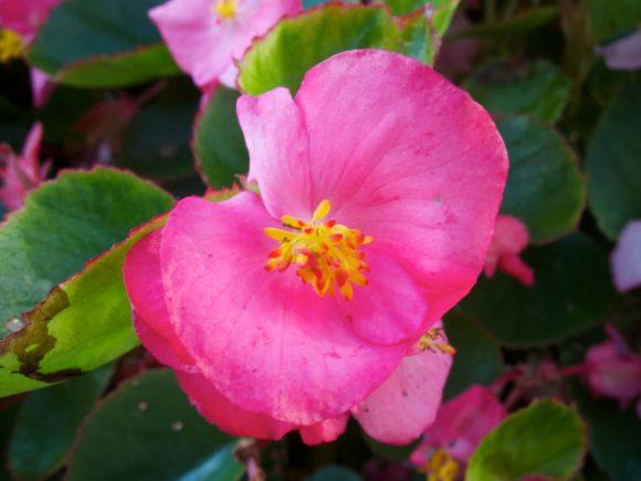 Day 223 - Pink Flower