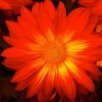Day 309 - RED Flower