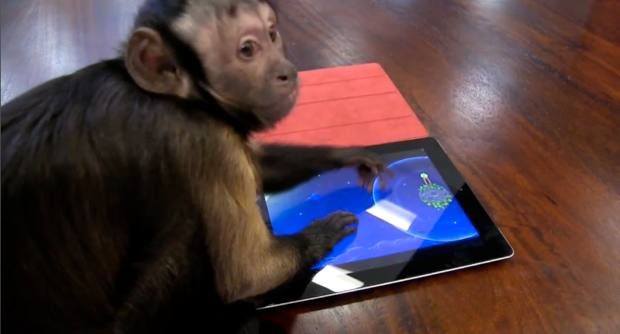 Capuchin Monkey iPad Angry Birds